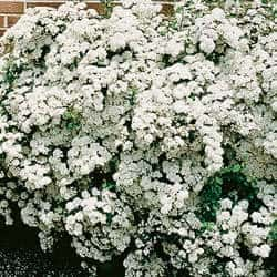 Spirea Shrubs – Bridal Wreath Spirea