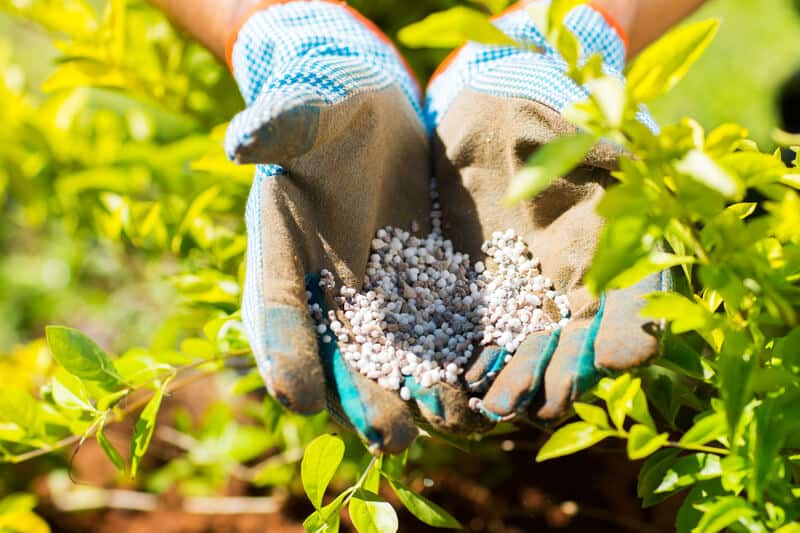 Garden fertilizer on gardeners hands