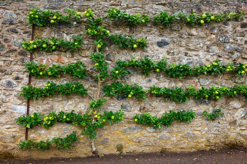 Horizontal espalier fruit tree trained on stone wall.