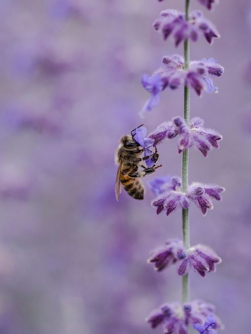 Picture lavender and a honeybee