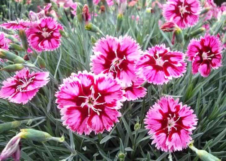 pinks dianthus