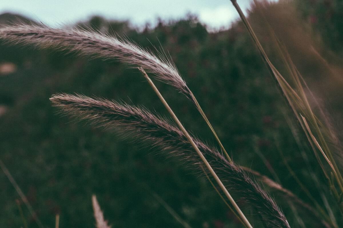 ornamental desert grasses