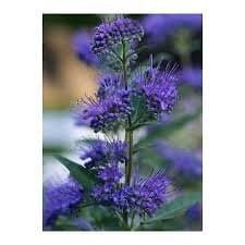 blue mist shrub caryopteris