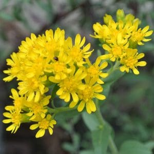 goldenrod solidago