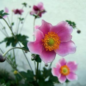 japanese anemones anemone x hybrida