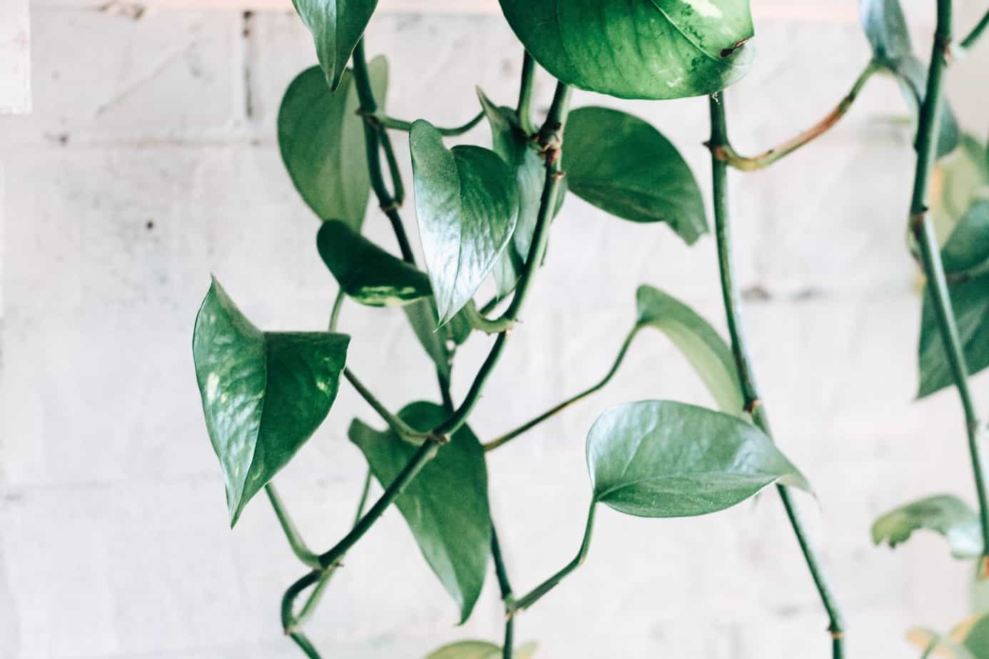 pothos plant propagation