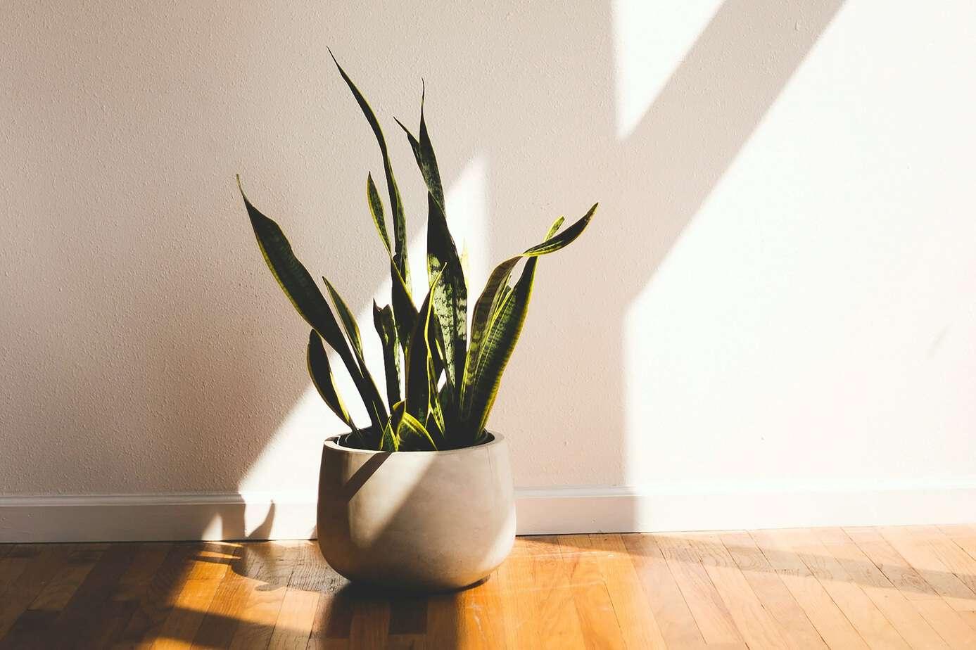 snake plant propagation
