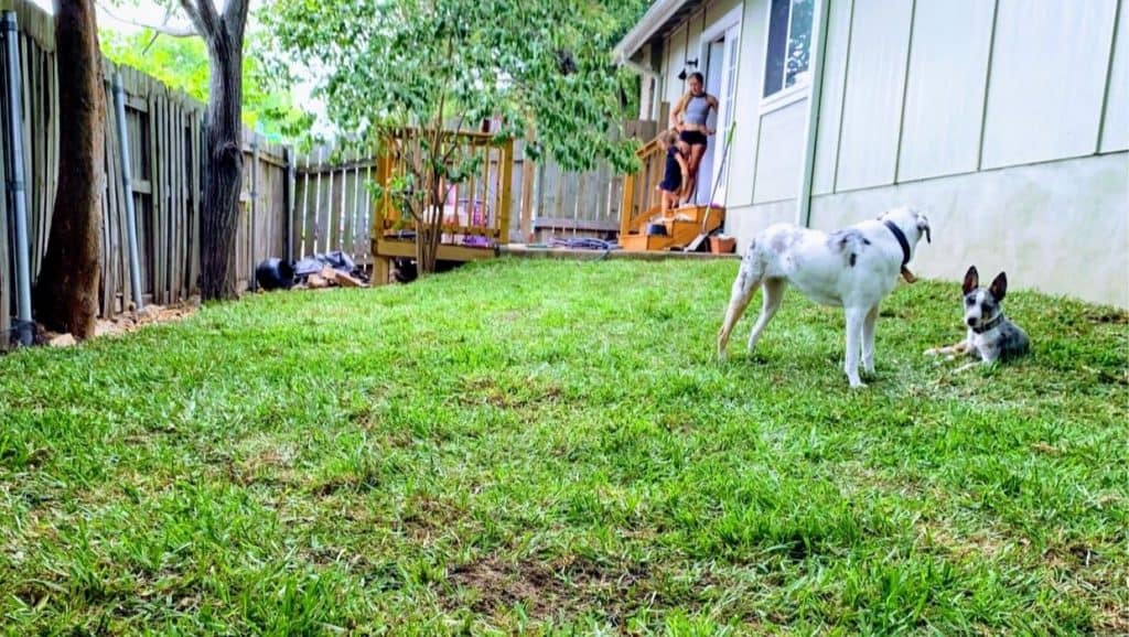 yard with dogs st. augustine grass sod