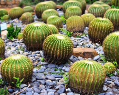 barrel cactus plants