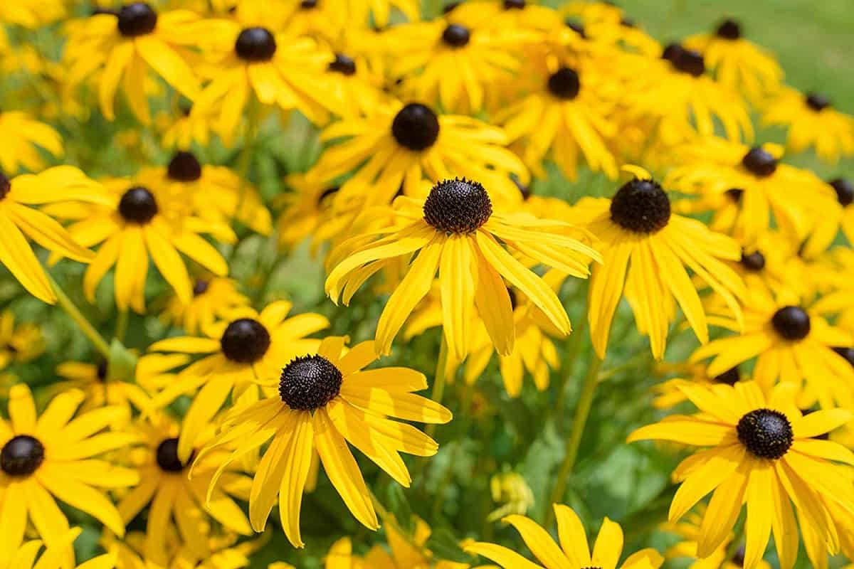 black eyed susan flower image