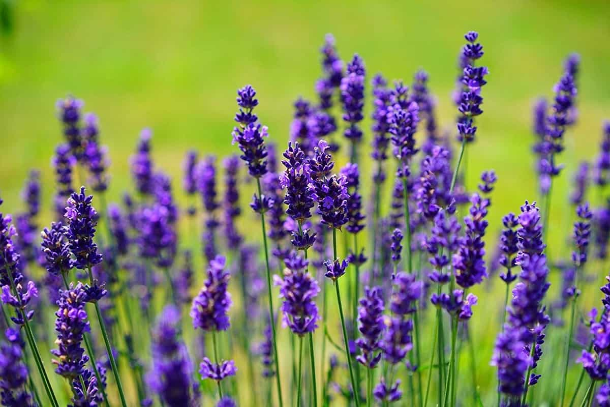 english lavender flowers image