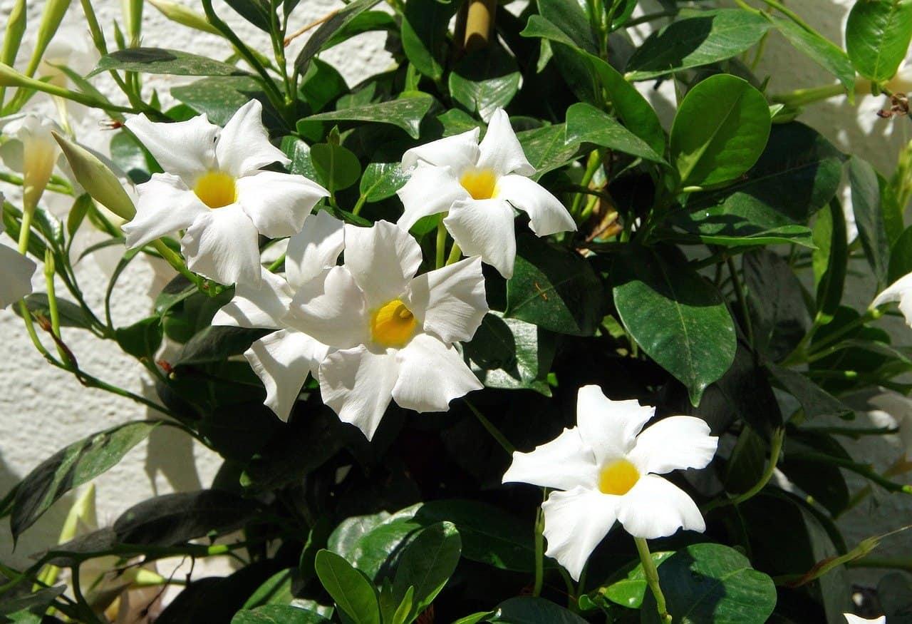 mandevilla flower image