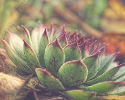 Plush Plant Succulent