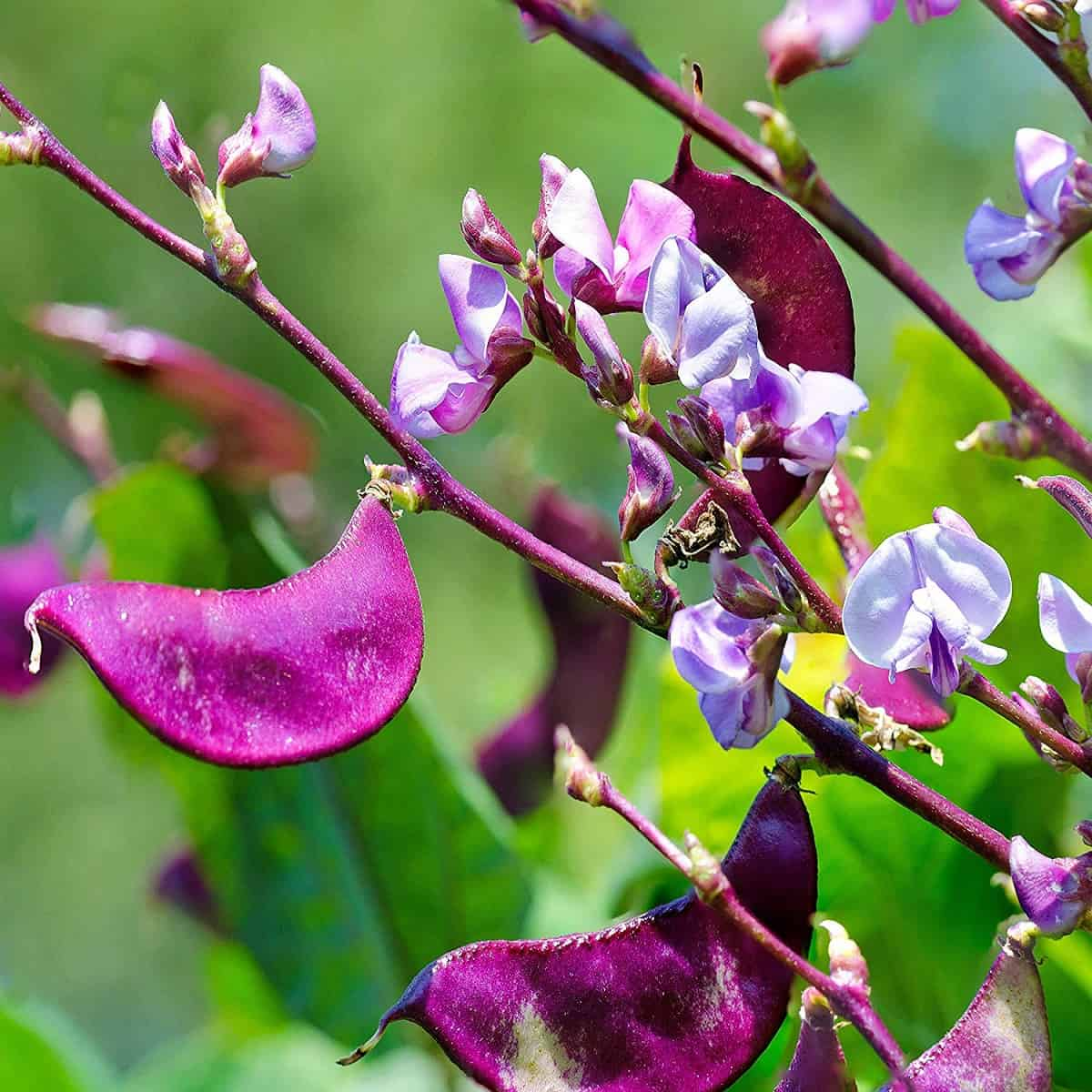 purple hyacinth bean flowers image