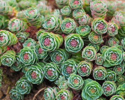 roseum - types of succulents