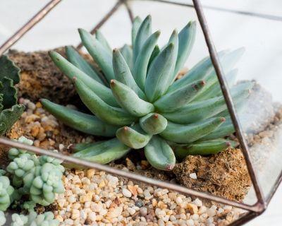 stonecrop succulent