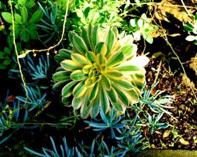 sunburst plant