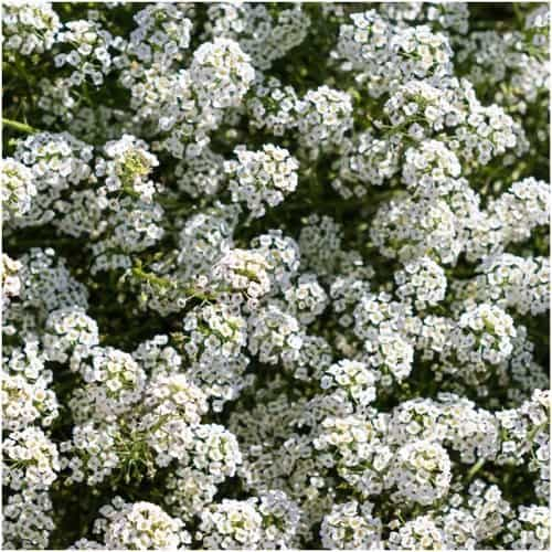 sweet alyssum flowers image