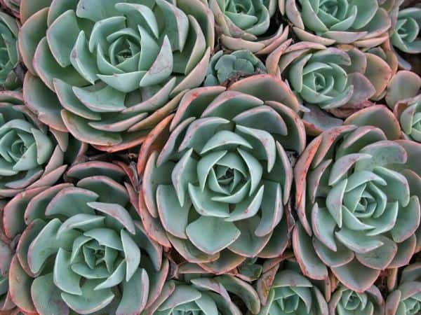 Hens-and-Chicks