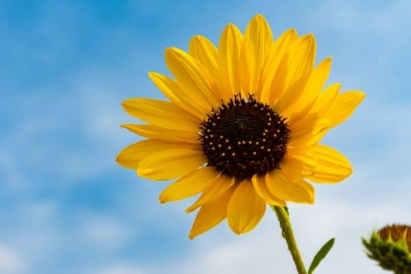 When Is the Best Time to Plant Sunflowers?