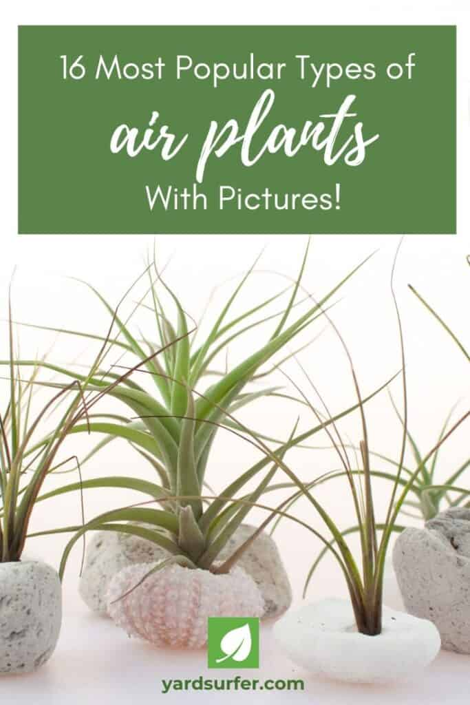 types of air plants with pictures