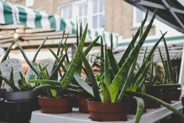 Types of Aloe Plants With Picturesv