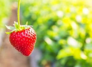 Best Time to Plant Strawberries