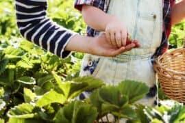 how to fertilize vegetable garden after planting