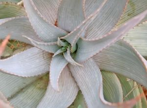 Types of Aloe Plants With Pictures
