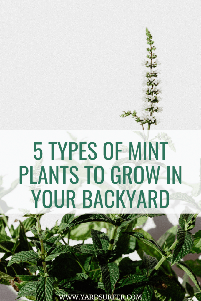 5 Types of Mint Plants to Grow in Your Backyard