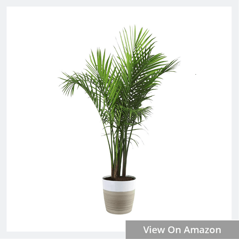 5 Types of Palm Plants With Pictures
