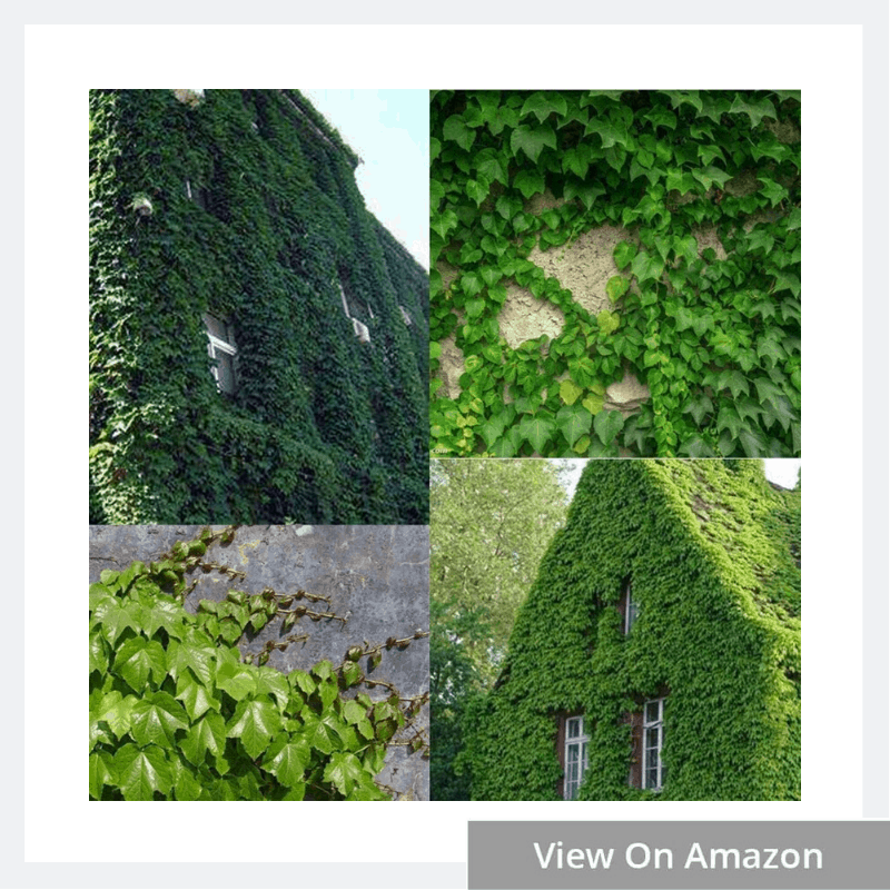 Types of Ivy Plants