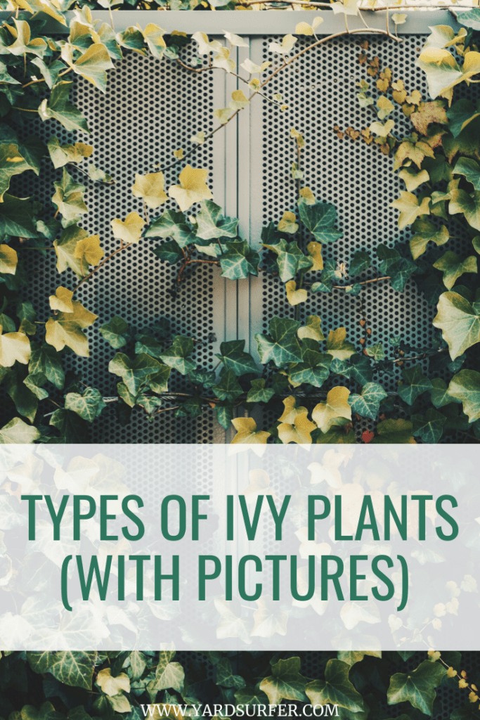 11 Types of Ivy Plants With Pictures