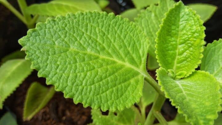 Types of Mint Plants
