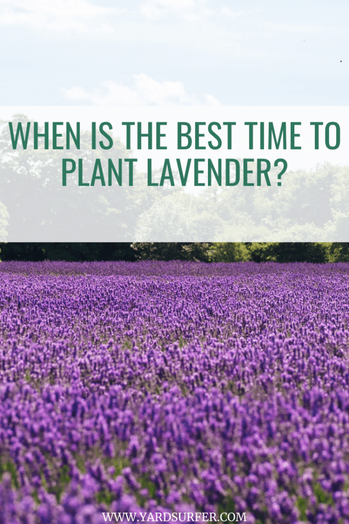 Best Time to Plant Lavender