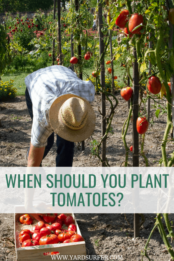 When Should You Plant Tomatoes?
