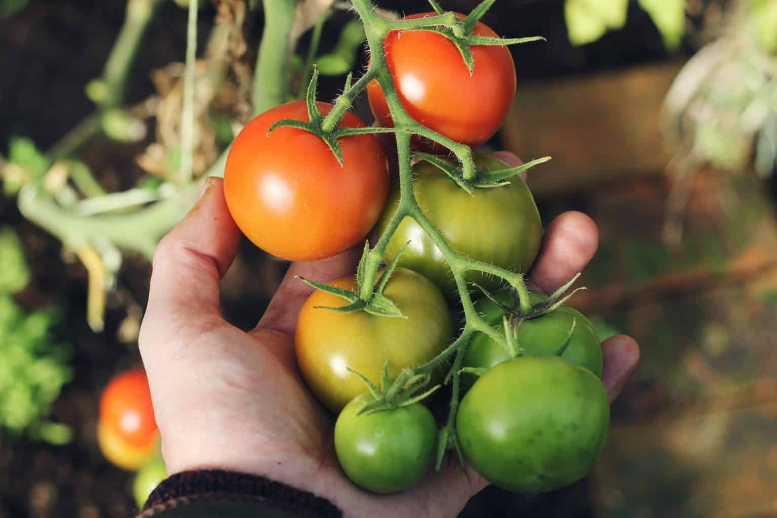 When Should You Plant Tomatoes