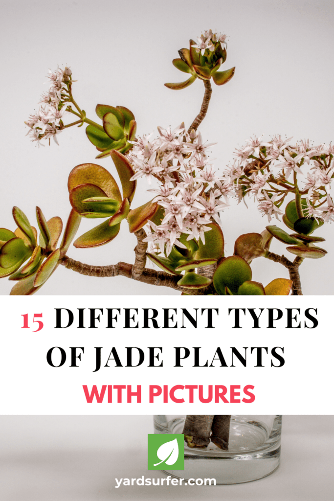 15 Different Types Of Jade Plants With Pictures Yard Surfer