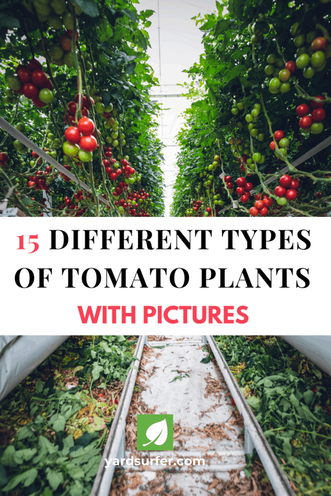 15 Different Types of Tomato Plants With Pictures