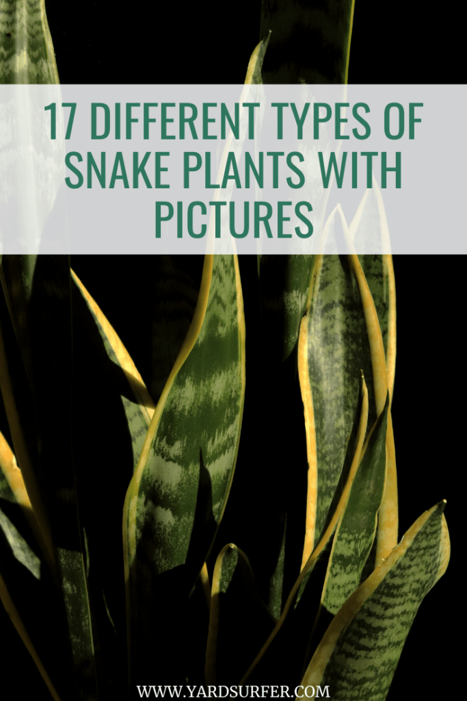 Different Types of Snake Plants With Pictures