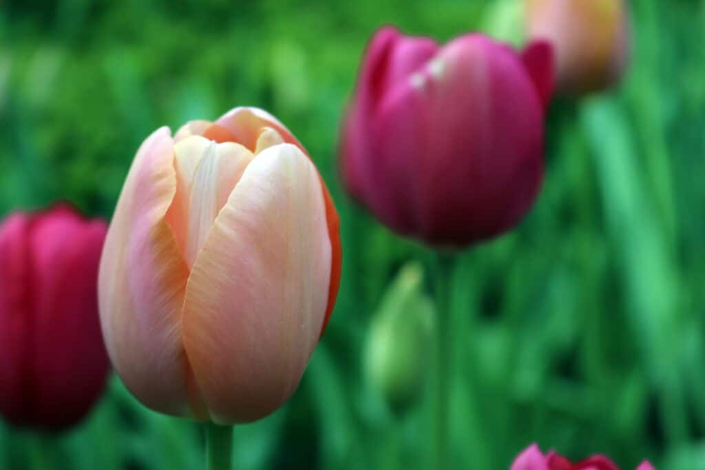 When is the Best Time to Plant Tulips