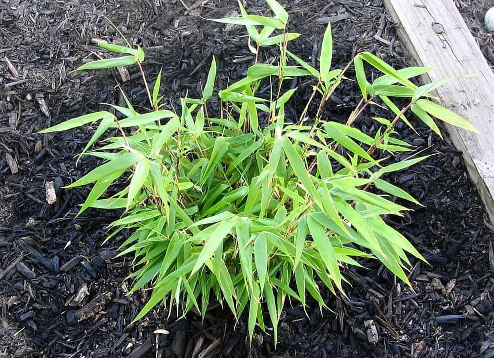 Types of Bamboo Plants