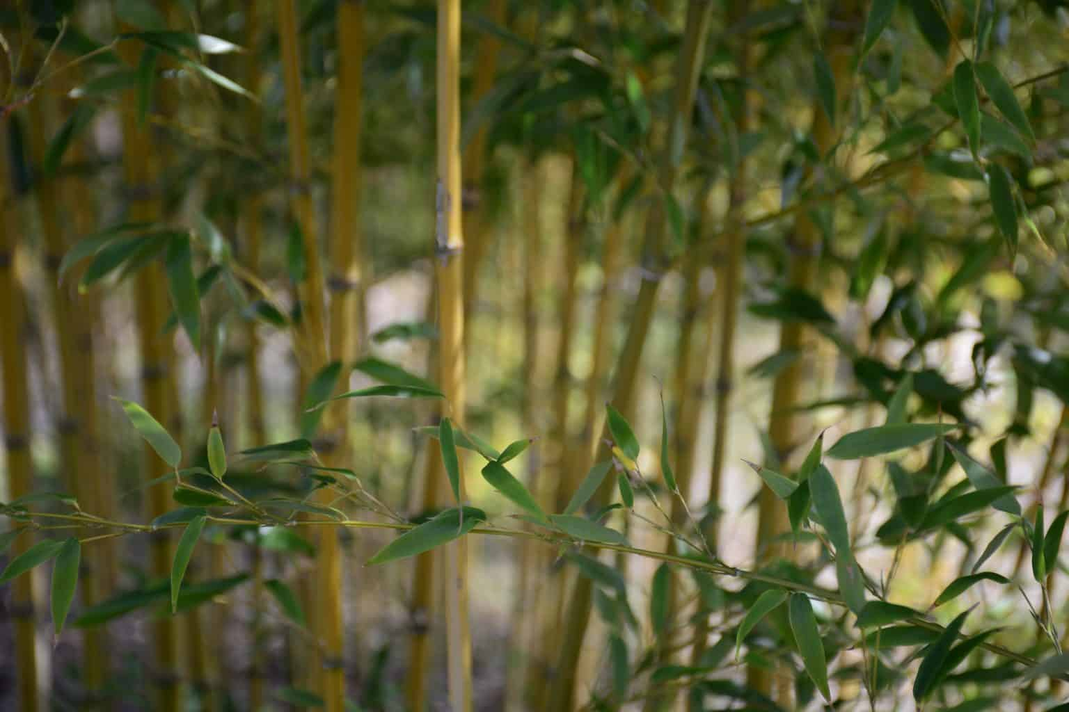 10 Different Types of Bamboo Plants With Pictures