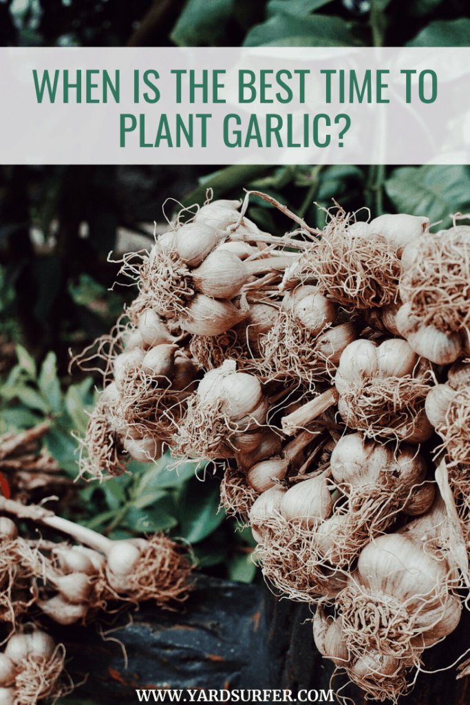 Best Time to Plant Garlic