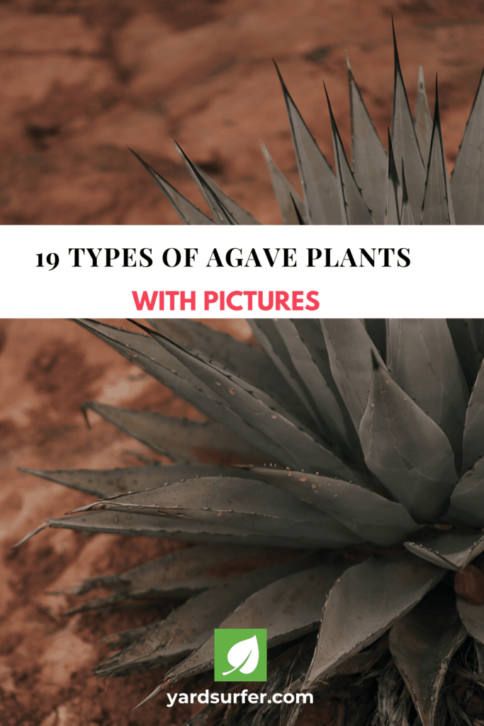 Types of Agave Plants