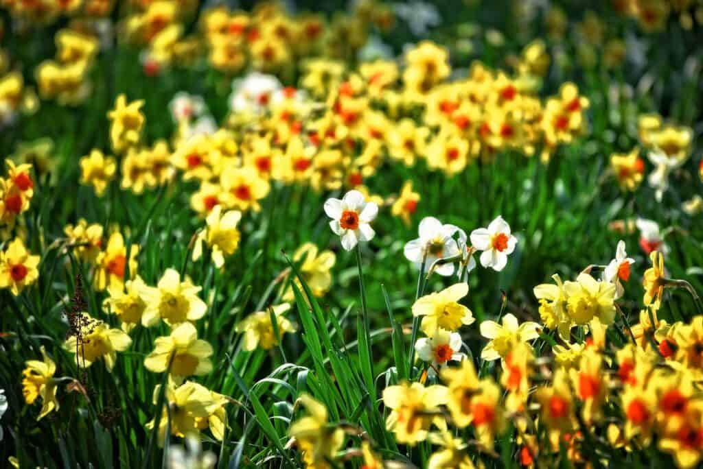 best time to plant daffodils