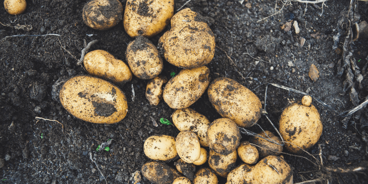 Best Time to Plant Potatoes