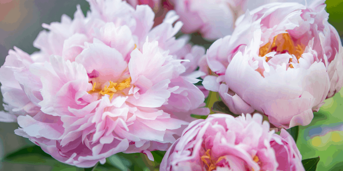 When is the best time to plant Peonies