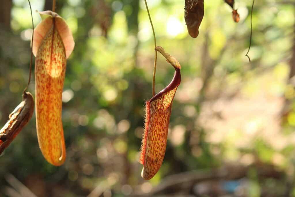 Types of Carnivorous Plants