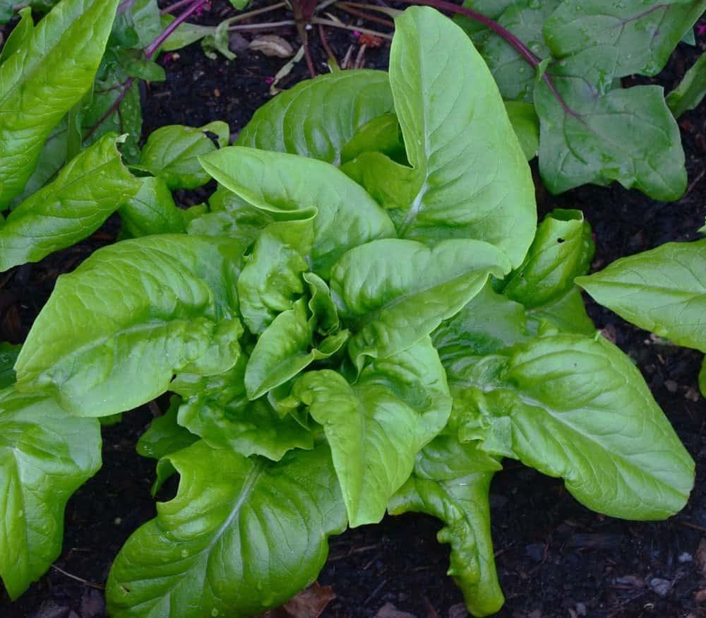 Types of Lettuce